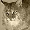 Blue Eyed Bobcat-sepia by Jennifer  King