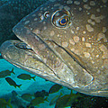 Blue-eyed Grouper Fish by Connie Fox