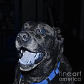 Blue Eyed Lab Smiling For The Camera by Barbara Griffin