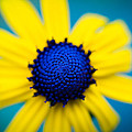 Blue Eyed Susan by Christy Cox