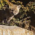 Blue Eyes Baby Fox by Mircea Costina Photography