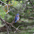Blue Feathers by Susan Herber