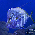 Blue Fish   #4990 by J L Woody Wooden
