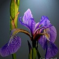 Blue Flag Iris Flower by Smilin Eyes  Treasures