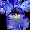 Blue Flag by Robert Bales