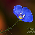 Blue Flax Blossom by Iris Richardson