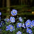 Blue Flax By The Pond by MTBobbins Photography