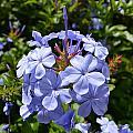 Blue Flowers by Aruna Venugopal