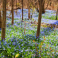 Blue Flowers In Spring Forest by Elena Elisseeva