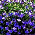 Blue Flowers On Sun by Dr Loifer Vladimir