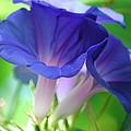 Blue Flutes by Breanna Calkins