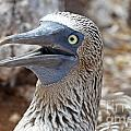 Blue Footed Boobie Galapagos by Jason O Watson