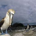 Blue-footed Booby Galapagos Islands by Tui De Roy