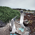 Blue-footed Booby Pair Courting by Tui De Roy