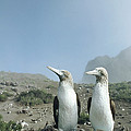 Blue-footed Booby Pair With Nesting by Tui De Roy
