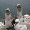 Blue-footed Booby Parents With Chick by Tui De Roy