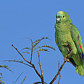 Blue-fronted Parrot Emas National Park by Tui De Roy
