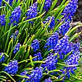 Blue Grape Hyacinth by Steve Harrington