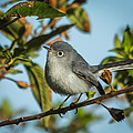 Blue-gray Gnatcatcher by Jane Luxton