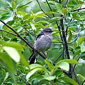 Blue-gray Gnatcatcher by M E Wood
