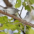 Blue-gray Gnatcatcher by Mike Dickie