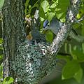 Blue-gray Gnatcatcher Nest Dsb261 by Gerry Gantt