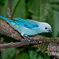 Blue-gray Tanager by Anthony Mercieca