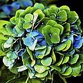 Blue Green Hydrangea by Lehua Pekelo-Stearns