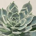 Blue Green Succulent by Lucid Mood