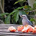 Blue-grey Tanager 1 by Harvey Dalley