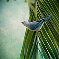 Blue Grey Tanager On A Palm Tree by Peggy Collins