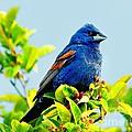 Blue Grosbeak On The Look Out by Nick Zelinsky
