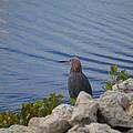 Blue Heron 1 by Jimi Bush