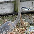 Blue Heron 2 by Nathanael Smith