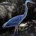 Blue Heron 8 by Earl Johnson