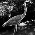 Blue Heron 8bw by Earl Johnson