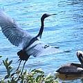 Blue Heron And Pelican by Robert Floyd