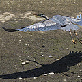 Blue Heron And Shadow by Bruce Frye