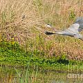 Blue Heron And The Black Bird by Photos By  Cassandra