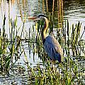 Blue Heron Backside by William Bosley
