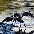 Great Blue Heron Ballet by Dianne Cowen