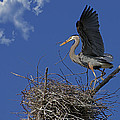 Blue Heron Construction Site by Torrey McNeal