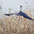 Blue Heron by Deb Buchanan