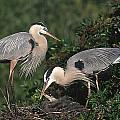 Blue Heron Feeding Young by Ralph Brunner