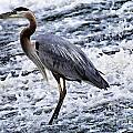 Blue Heron Fishing V3 by Douglas Barnard