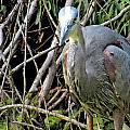 Blue Heron Greeting by Kathy Johnson