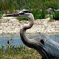Blue Heron by Greg Patzer