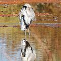 Blue Heron Grooming by Tom Janca