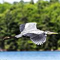 Blue Heron In Flight II by Nate Wilson