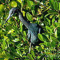Blue Heron In Mangroves by Stephen Whalen